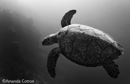 Turtle gliding through the waters off the coast of Cozume... by Amanda Cotton