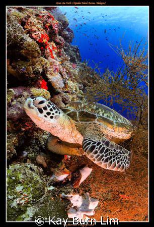 Green Sea Turtle off Sipadan island, Malaysia  Nikon D3... by Kay Burn Lim