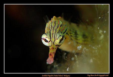 Scribbled Pipefish, Mabul Island, Borneo, Malaysia  Nik... by Kay Burn Lim