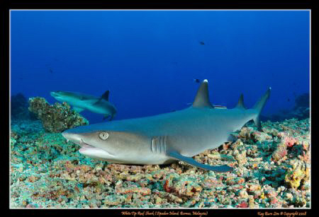 White tip reef shark. Took me a good 5 minutes to stalk t... by Kay Burn Lim