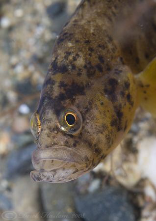 Butterfish. North Wales. D200, 60mm. by Derek Haslam