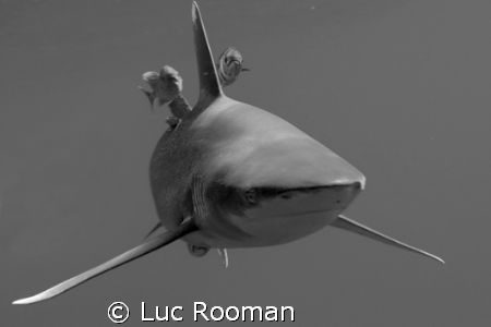 oceanic white tip by Luc Rooman