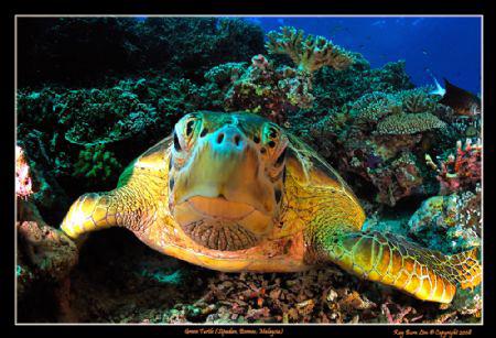 Green Sea Turtle in Sipadan, Malaysia  Nikon D300, Tokin... by Kay Burn Lim