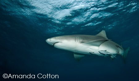 One of the many lemon sharks at Tiger Beach, Bahamas.
