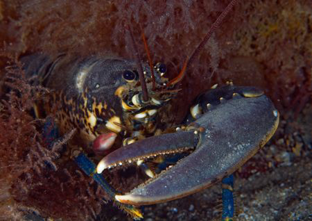 Single clawed lobster - replacement claw growing back on ... by Mark Thomas