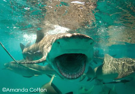 Lemon shark mid feeding at the surface.  Tiger Beach, Bah... by Amanda Cotton