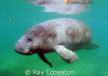 Flipper the manatee. Camera nikon D-200, Taken at Crystal... by Ray Eccleston
