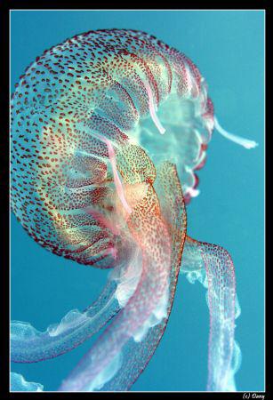 A jellyfish can be so beautifull :-) by Daniel Strub