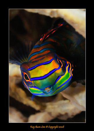 Mandarin Fish,  D300, 60mm AF-S Macro by Kay Burn Lim