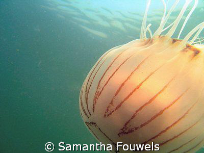 Suddenly I found myself followed by this compass jelly by Samantha Fouwels