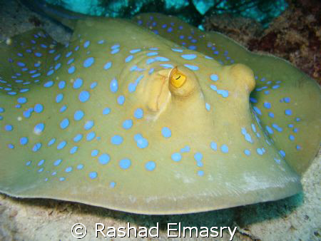 Blue spotted stingray by Rashad Elmasry