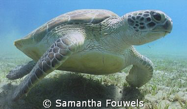 Huge Green Turtle (instead of Dugong) at Marsa Abu Dabab by Samantha Fouwels