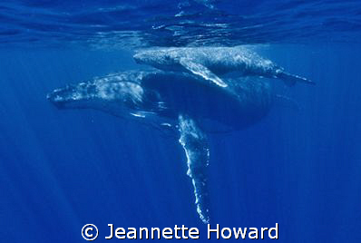 Mother and new born calf in Tonga off Vava'u, no strobes ... by Jeannette Howard