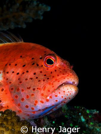 """Hawkfish"" from the Maldives. by Henry Jager"