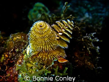 Christmas Tree Worms seen in Grand Cayman August 2008.  P... by Bonnie Conley