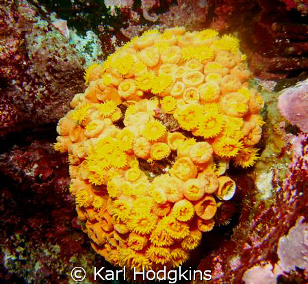 There is not many hard corals in the Galapagos, so make t... by Karl Hodgkins