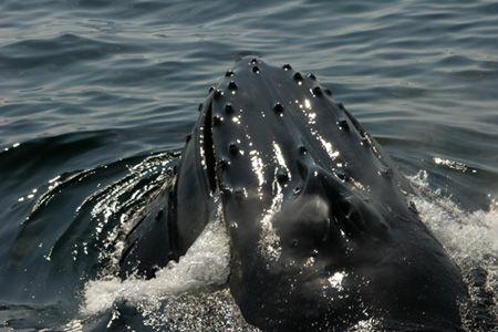 Humpback surface feeding near Boston. by Dan Lee