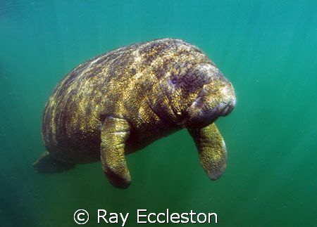 Little Manatee .Taken at Crystal River FL. by Ray Eccleston