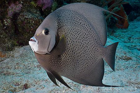 Grey Angelfish. Cozumel.  Canon 20D & Sigma 17-70 by Ross Gudgeon
