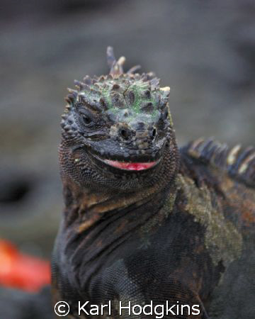 Smile please your on candid camera. (Marine Iguana Galap... by Karl Hodgkins