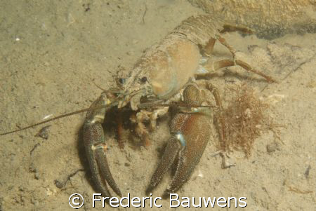 crayfish in Annecy lake,40m,5°C. by Frederic Bauwens