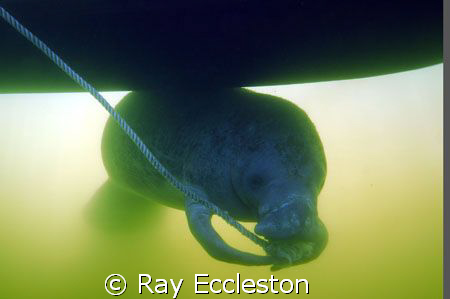 Last picture of the year,manatee under the boat chewing o... by Ray Eccleston