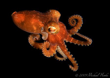 Small Octopus (Octopus cyanea, about 4 cm) swims free in ... by Michael Henke