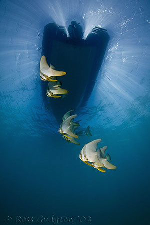 Batfish under out boat.  Ningaloo Reef, Western Australia... by Ross Gudgeon