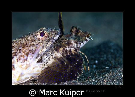 a lizardfish eating a fingered dragonet--I don't think th... by Marc Kuiper