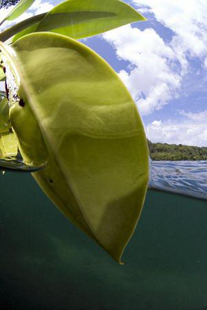 Leaf in Lake Kakaban. by Erika Antoniazzo