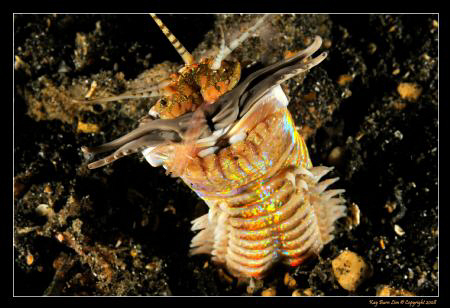 Bobbit Worm, Lembeh Straits,  D300, YS-110a strobes by Kay Burn Lim