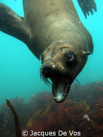 Cape Fur Seal of the coast near Hout Bay in Cape Town. It... by Jacques De Vos