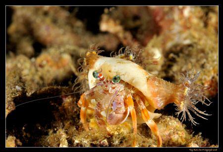 Hermit crab, D300, 60mm AF-S, YS-110a by Kay Burn Lim