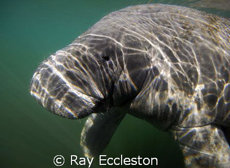 Manatee up close.Taken at Crystal River FL. by Ray Eccleston