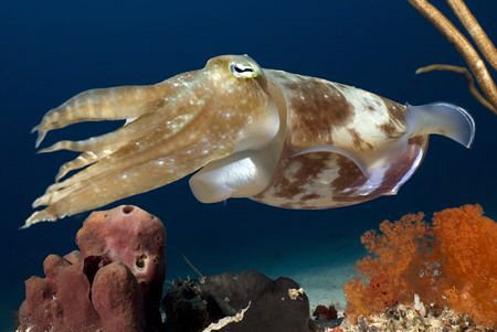 Cuttlefish. by Erika Antoniazzo