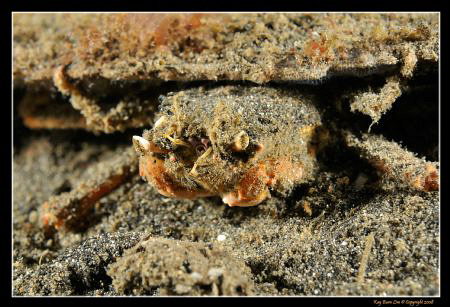 THis little crab had a plank over his shell that was 8 ti... by Kay Burn Lim
