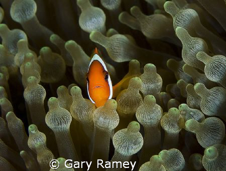 Small Nemo by Gary Ramey