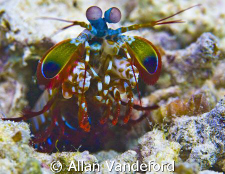 I sited this Mantis Shrimp scurrying across the sand near... by Allan Vandeford