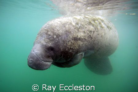 Tucked manatee. Taken at Crystal River FL. by Ray Eccleston