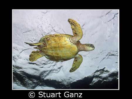 Green Sea Turtle. Taken on a rainy day in Hawaii. by Stuart Ganz