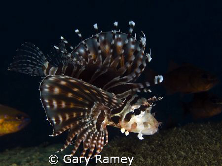 This Juvenile Lionfish was stalking me..haha. Every time ... by Gary Ramey