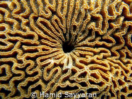coral by Hamid Sayyaran