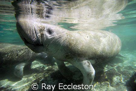 Manatee at Three Sisters Spring, Crystal River FL. by Ray Eccleston