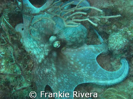 Caribbean Octopus @ Victor's Cleaning Station, Culebra by Frankie Rivera