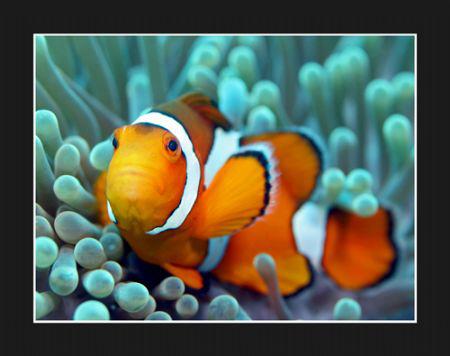 Clownfish by Stuart Ganz
