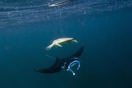 Green Turtle and Manta Ray by Erika Antoniazzo
