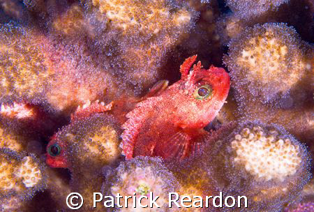 A pair of what I believe are pygmy scorpionfish.  (Input ... by Patrick Reardon