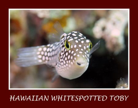 The Hawaiian whitespotted toby is a common fish on the re... by Stuart Ganz