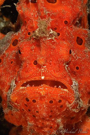 Painted frogfish (Antennarius pictus) - Look at the pearl... by Michael Henke