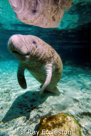 Manatee at Three Sisters Spring, Crystal River FL. by Ray Eccleston